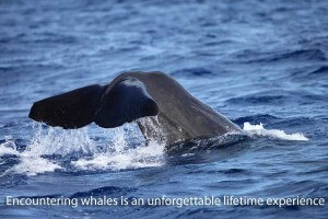 Whale & Dolphin Watching with Dive Dominica