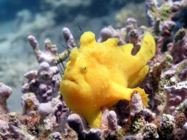 yellow frogfish sitting on pink sponge