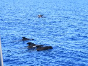a pod of pilot whales off Dominica