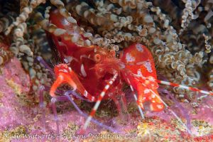 Red snapping shrimp